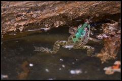 Rana verde (Pelophylax sp.)