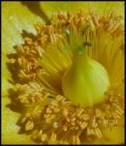 Hypericum calycinum L