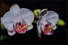 Orchidee - 2