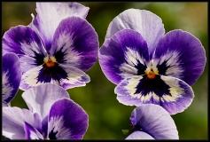 Viola hybrida