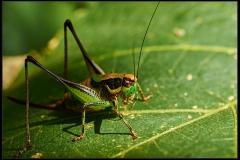 Eupholidoptera chabrieri bimucronata