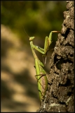 Mantide religiosa (Mantis religiosa)