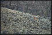 Cervo (Cervus elaphus)