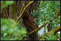 Scoiattolo rosso (Sciurus vulgaris)