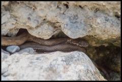 Biscia viperina (Natrix maura)