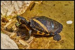 Tartaruga dalle orecchie gialle