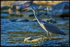 Airone cenerino - Pesca