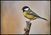 Cincia Allegra (Parus major)