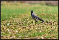Cornacchia grigia (Corvus corone cornix)