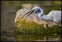 Egretta garzetta - Pesca