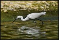 Egretta garzetta - Sentinella