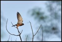Gheppio comune (Falco tinnunculus)