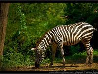 Zebra di Montevalenza (AL)