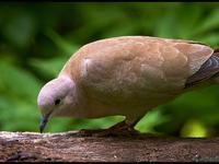 Tortora dal collare o tortora orientale (Streptopelia decaocto)