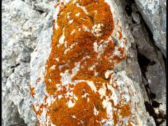 Licheni su pietra