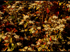 Photinia rossa