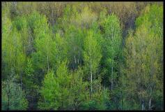 Pioppo colori di primavera