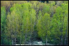 Pioppo - Colori della primavera