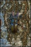Cervo volante (Lucanus cervus)