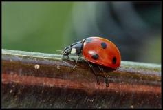 Coccinella (Coccinellidae)