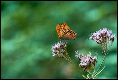 Argynnis (Argynnis) paphia
