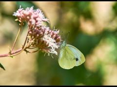 Genere Pieridae