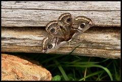 Pavonia minore - Saturnia (Eudia) pavoniella