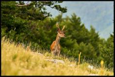 Cervo Nobile - Cervus elaphus