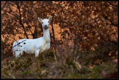 Daino (Dama dama) - Branco bianchi 09