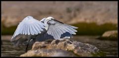 Egreta garzetta - Voli