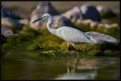 Egretta garzetta - Walking