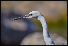 Egretta garzetta - Close up