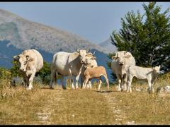 Vacche al pascolo