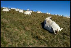 Vacche